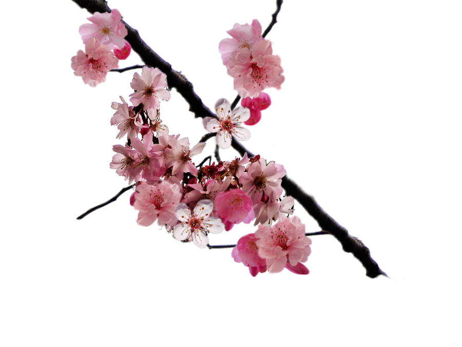 Cherry Blossom Branch Png By Doloresdevelde On Deviantart Cherry Blossom Branch Cherry Blossom Blossom