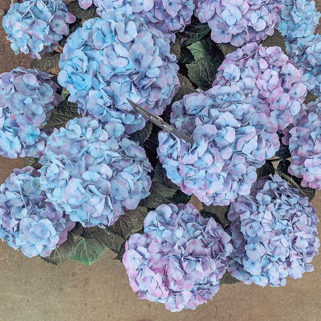 Paris Hydrangeas It Doesn T Matter Which Color They Are I Like Them Anyways Hydrangeas Hydrangeaseason Fra Hydrangea Season Hydrangea Flowers