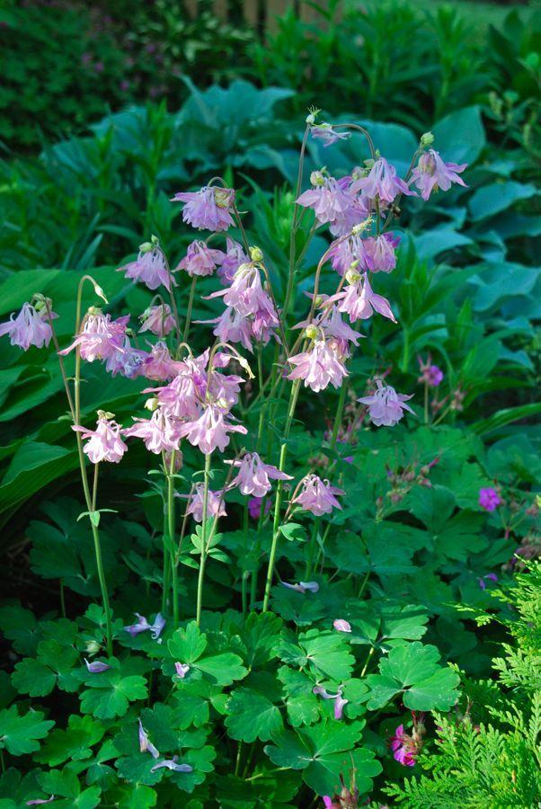 Pink columbine (Aquilegia) in front of blue Hosta in the Shade Path garden. From Wife Mother Gardener
