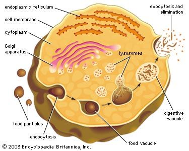 Lysosome Description Formation Function Biology Biology Notes Cell Organelles