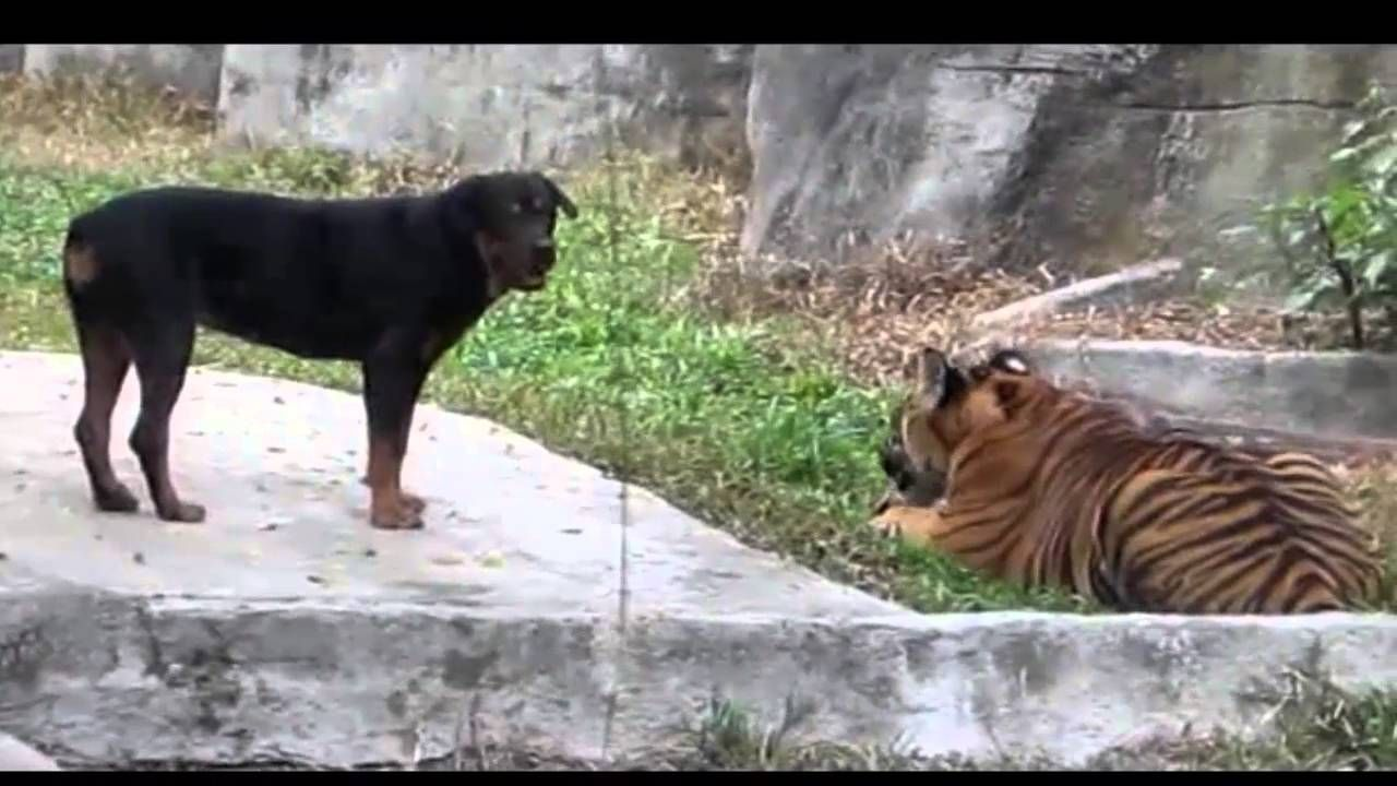 Rottweiler Dog Attack Tiger Pit Bull Vs Rottweiler Fight