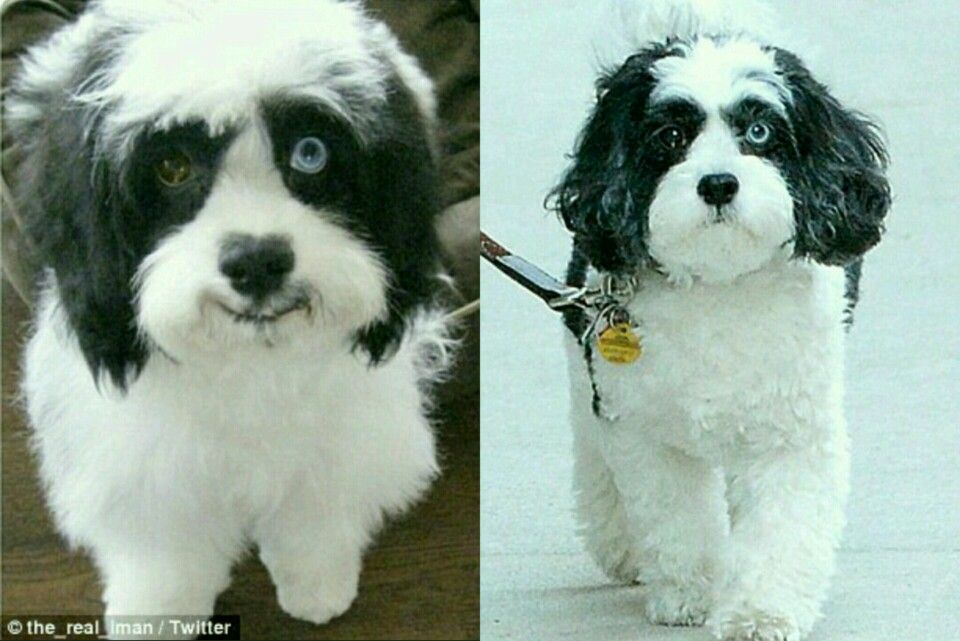 David Bowie S Dog Max A Shih Tzu And Poodle Mix Shares A