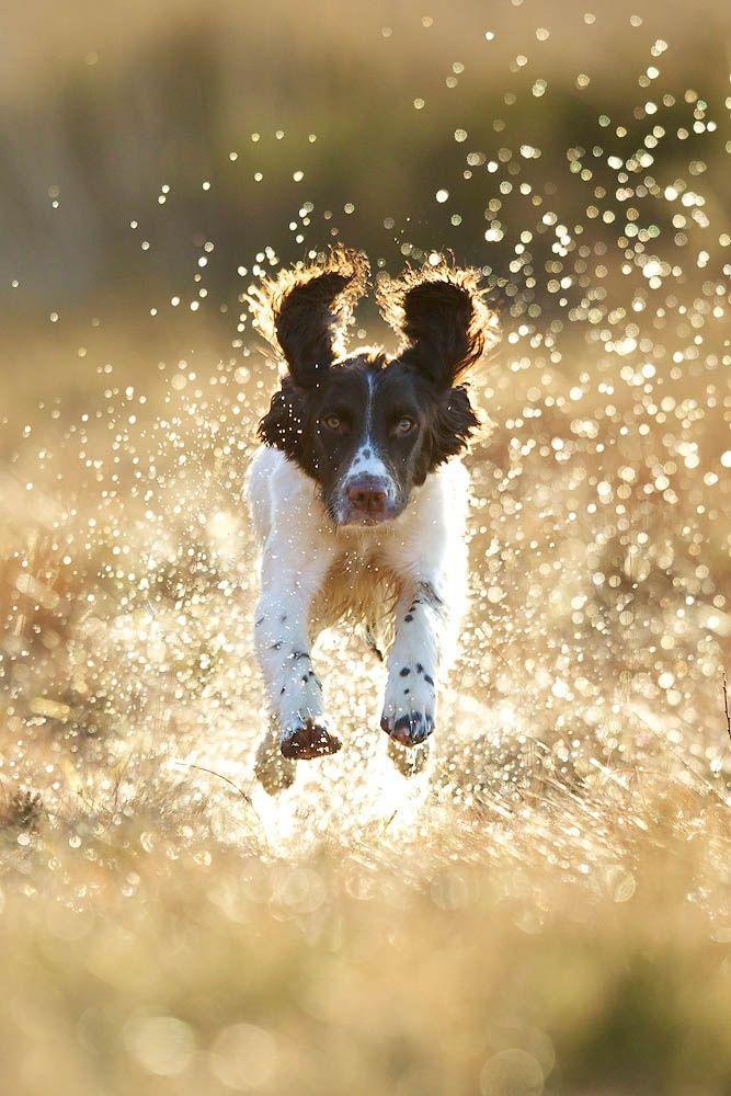 A Delicate Balancing Act Dogs, Springer spaniel