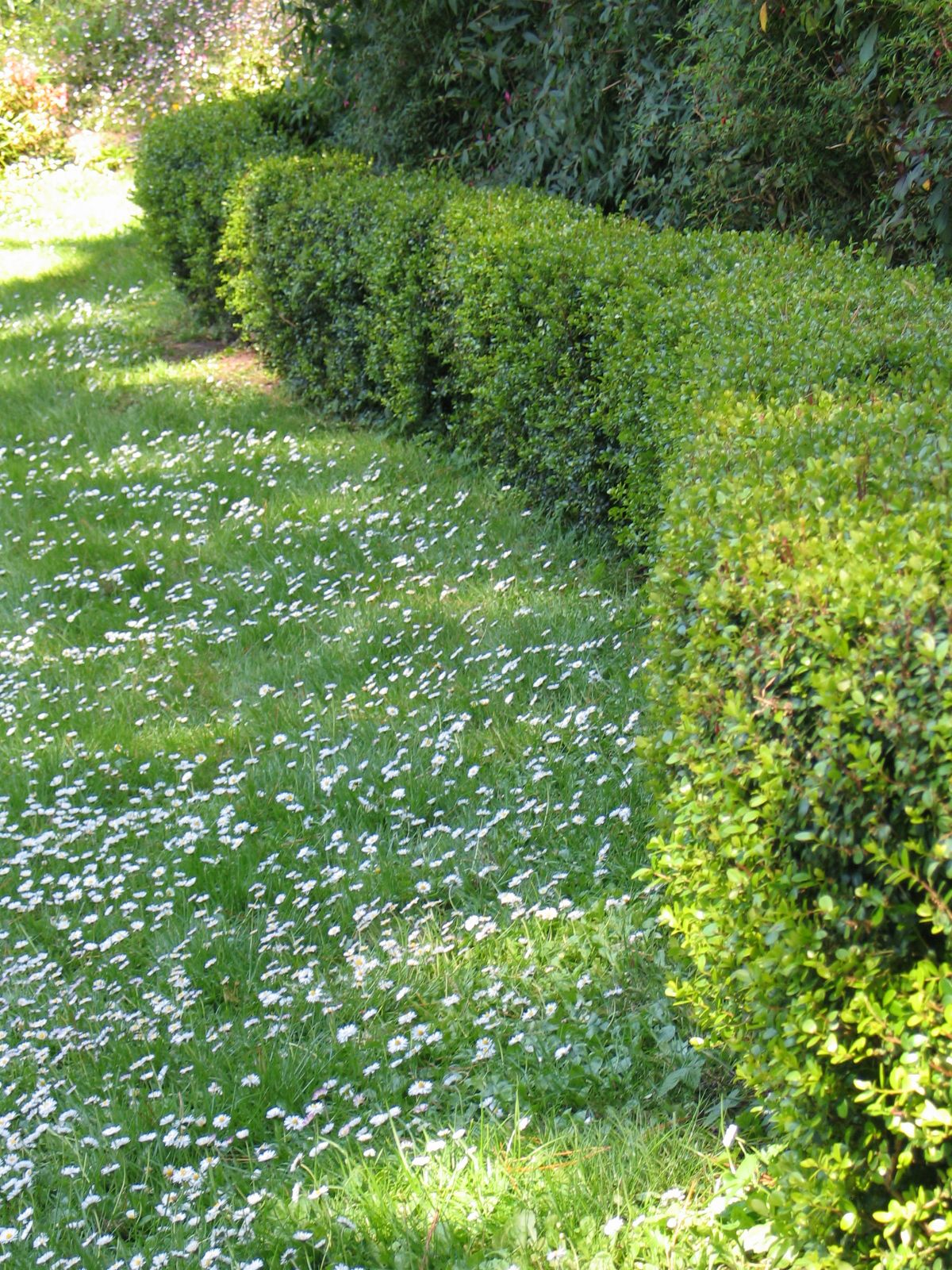 Mixed Lawns U2013 Alternatives To Turfgrass. Lawn AlternativeClover LawnBackyard  ...
