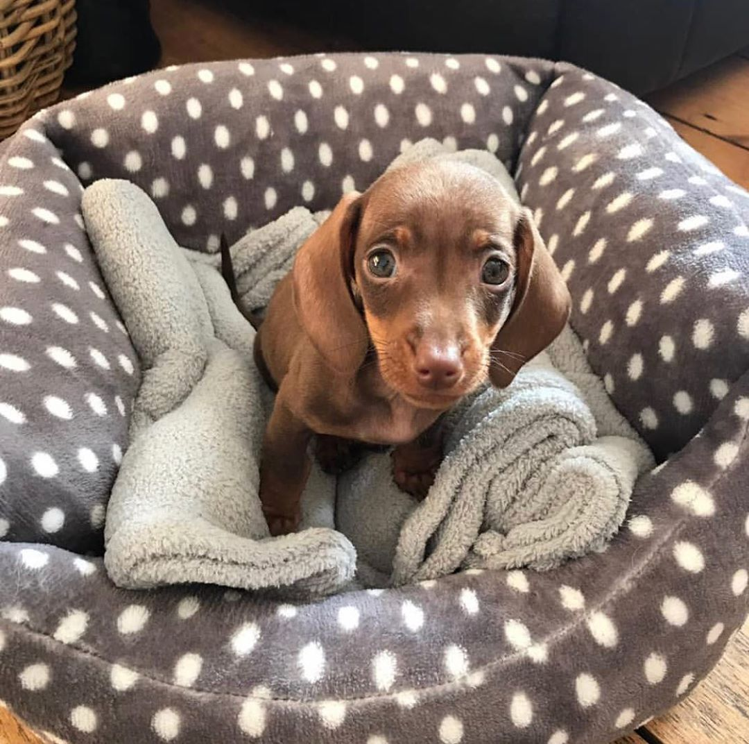 Dachshund Products Apparel And Gifts Cute Funny Animals Cute