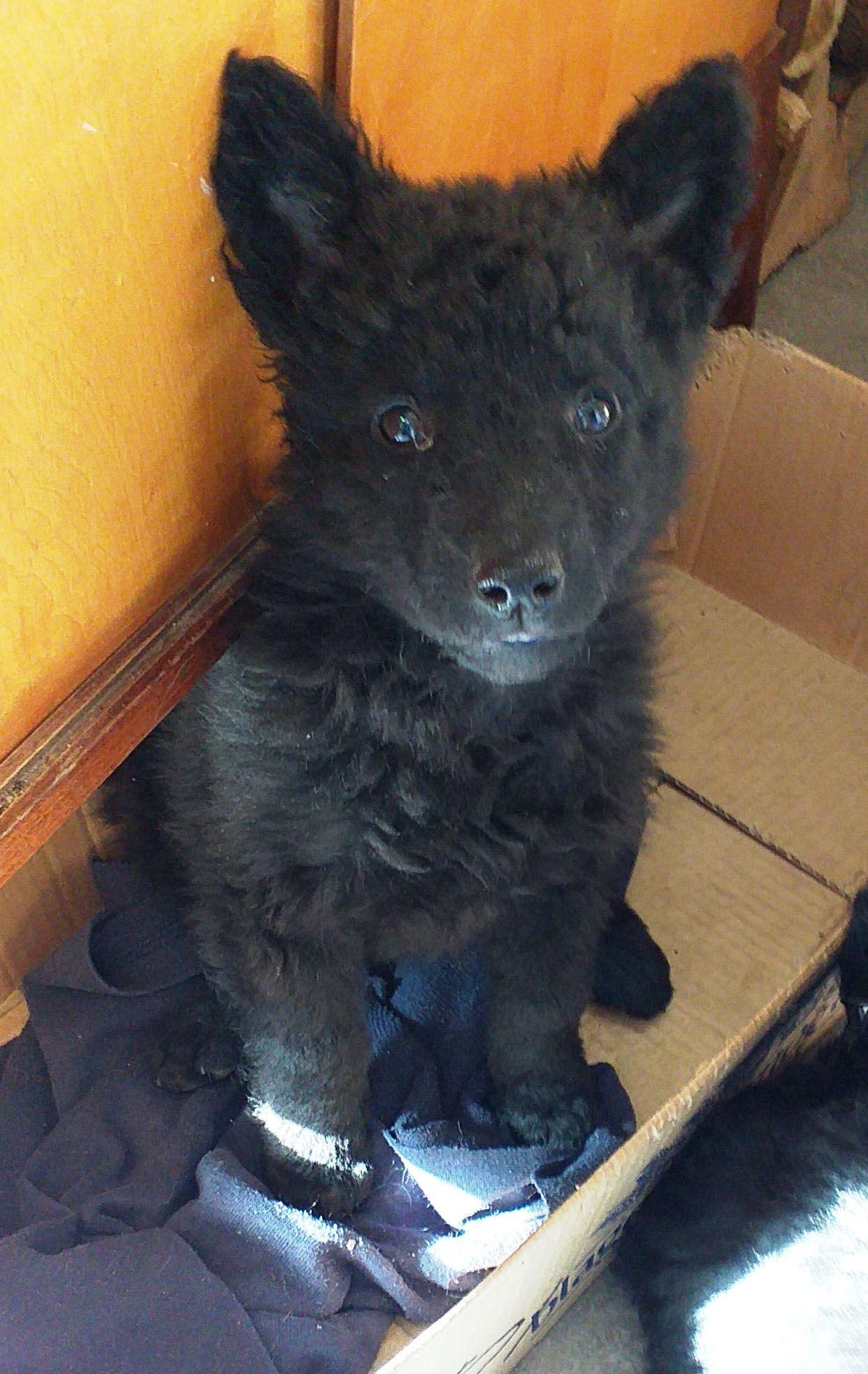 Pulin Lars Dogs Dog Breeds Puppies