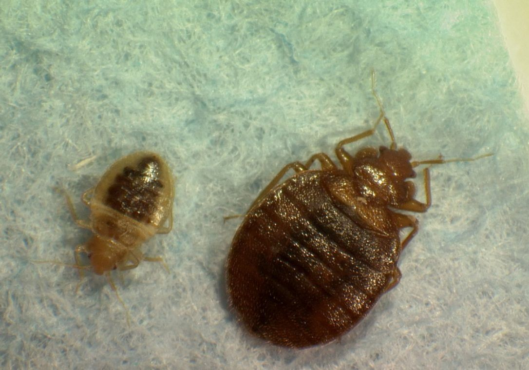 Bed bugs await Montreal university students Bed bugs
