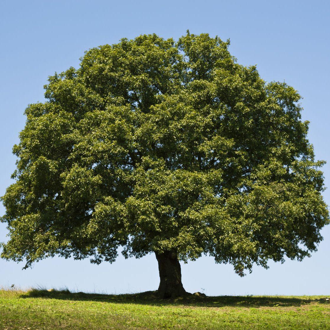 Hardwood Oak Tree: Oak Tree, Shade Trees, Garden Trees