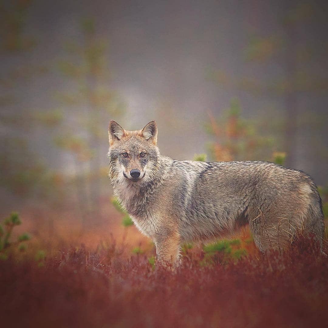 Great job npekonen grey wolf canis lupus in