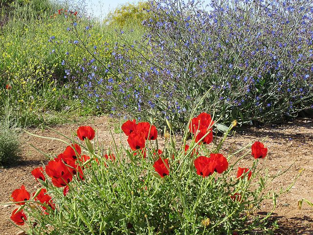 Maale Adumim Israel Red Anemone Landscape Plants