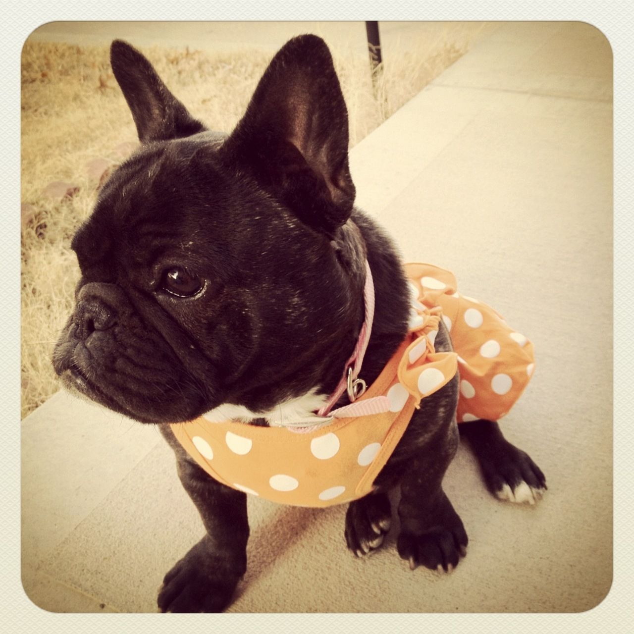 Polka Dots French Bulldog Fur Babies French Bulldog