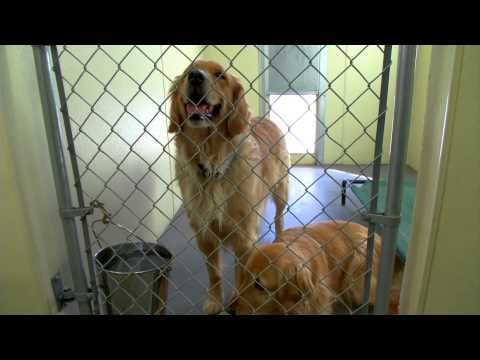 Golden Retriever Rescue Of The Rockies Golden Retriever Rescue