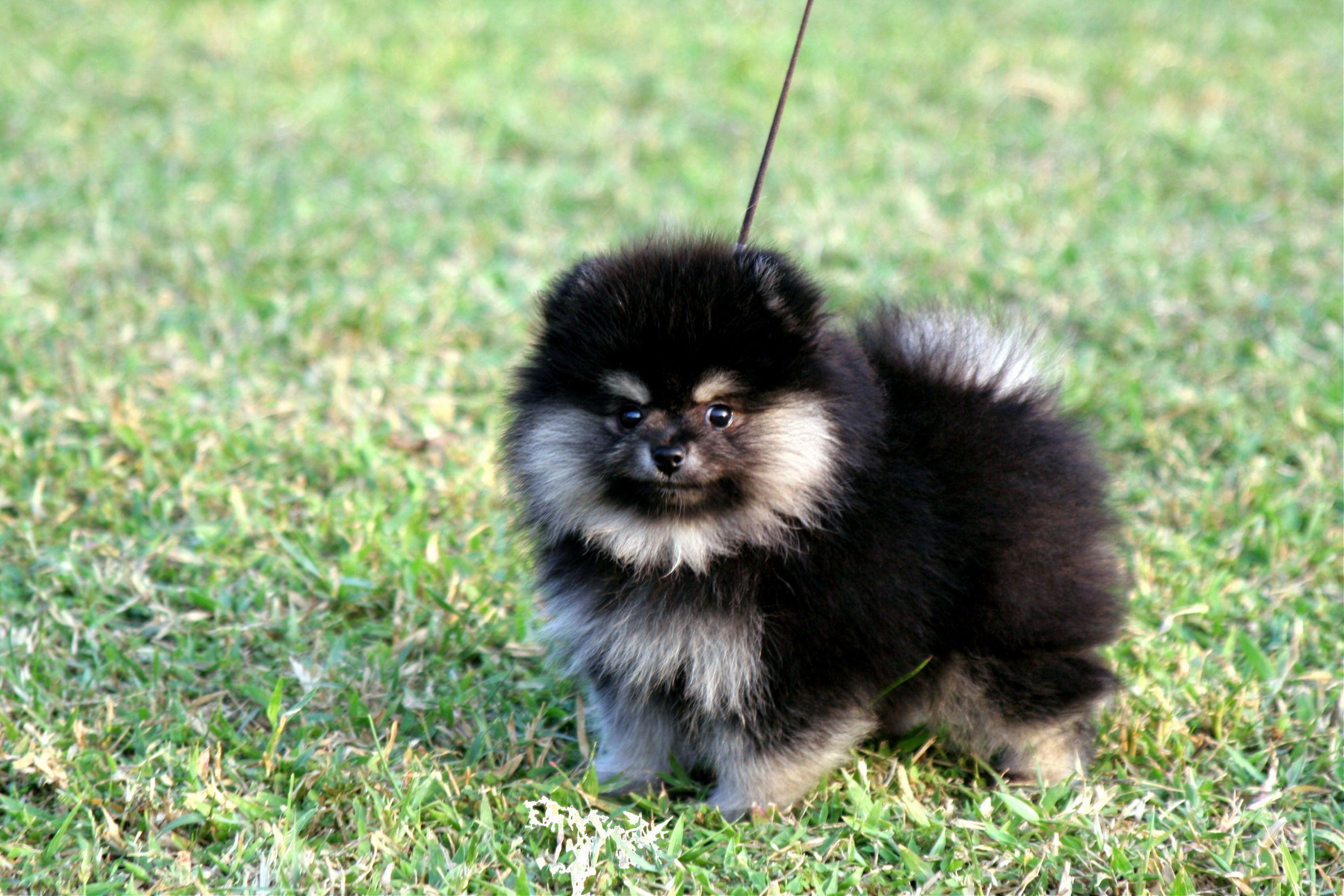 Pomeranian Black Tan Pomeranian Female Age Of 2 Months