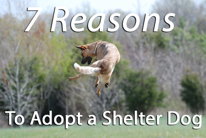 7 Reasons To Adopt A Shelter Dog Pet Sitting Services Dog
