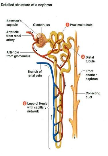 Anatomy Of Nephron Basic Anatomy And Physiology Biology Diagrams Human Anatomy And Physiology