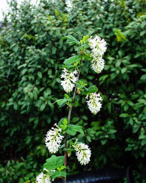 Ribes sanguineum glutinosum inverness white white flowering currant ribes sanguineum glutinosum inverness white white flowering currant mightylinksfo