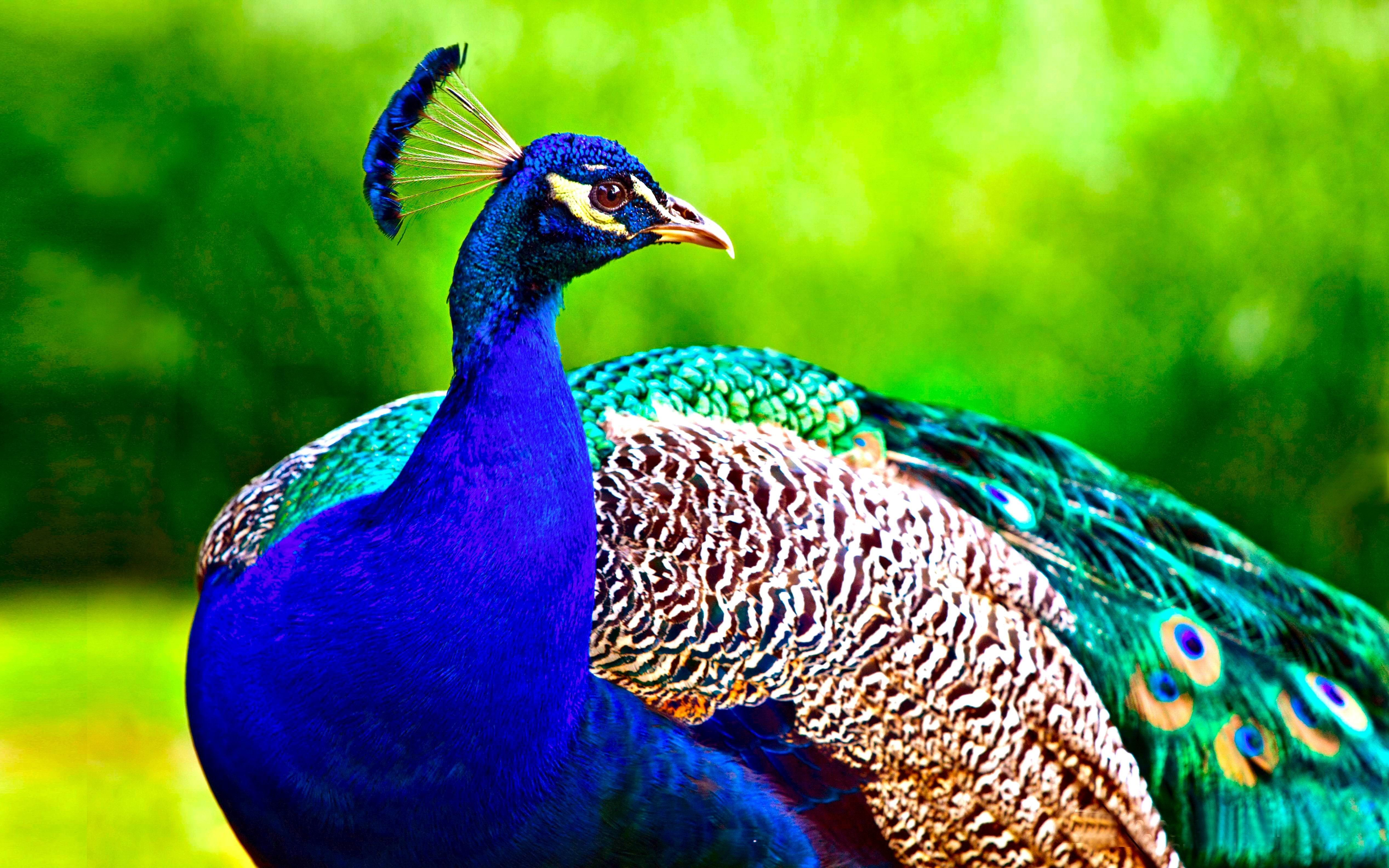 Top 10 Birds Wallpapers Hd Peacock Wallpaper Peacock Pictures Peacock