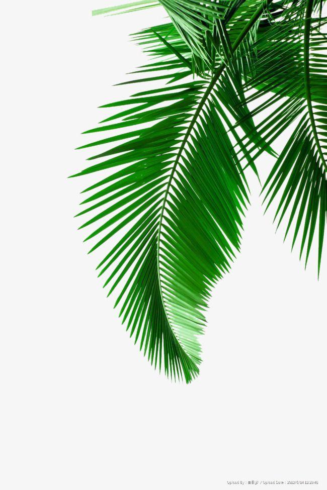 Fotos de material de Folha de coqueiro Verde, Folhas Verdes, Verde ...