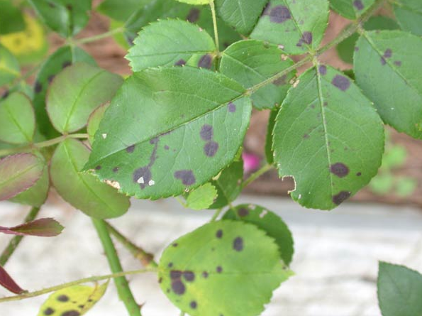 Fighting Plant Fungus Organically Black spot on roses