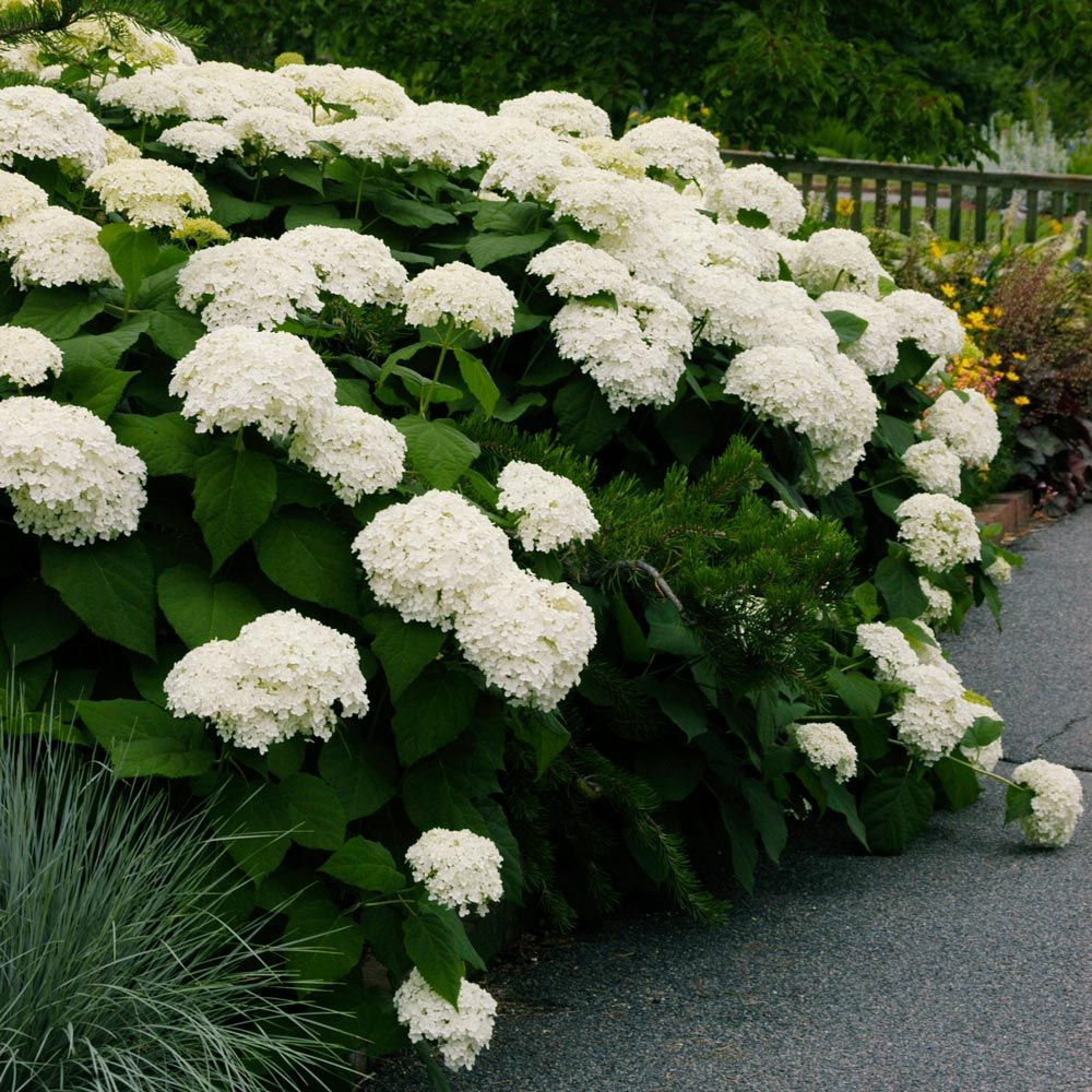 Hydrangea Arborescens Annabelle In 2020 Japanese Lilac Tree Lilac Tree White Hydrangea Plant
