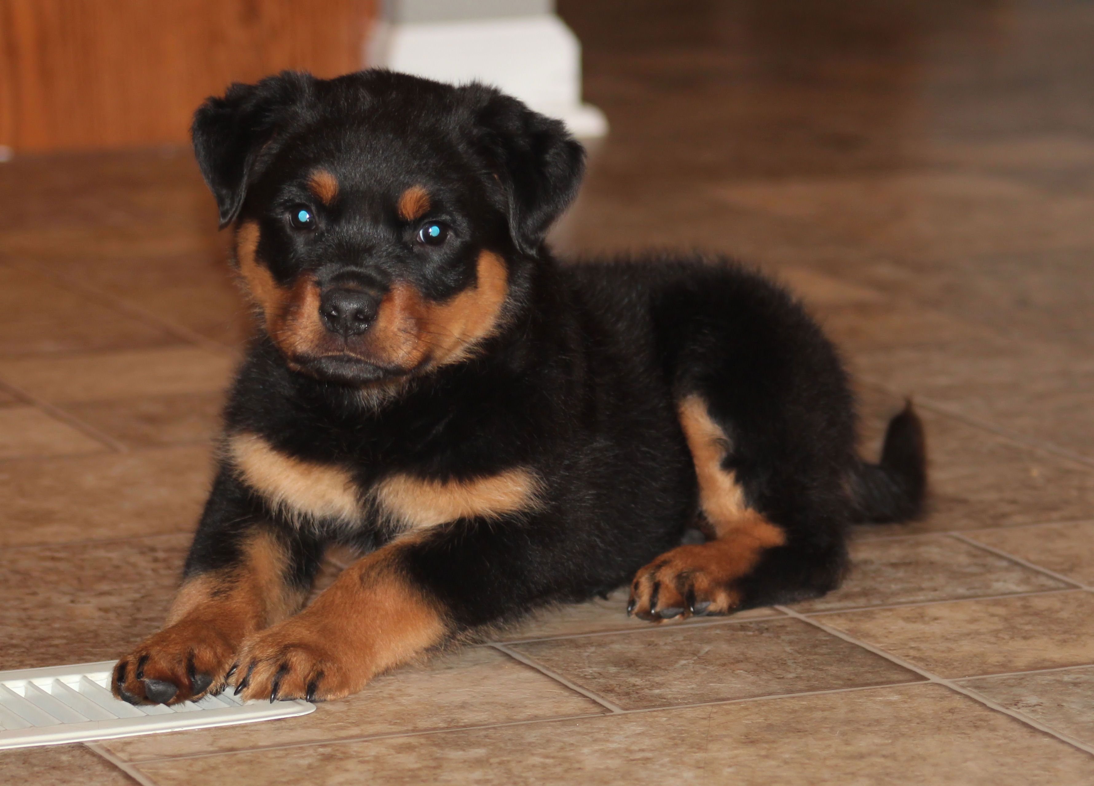 Adorable Rottweiler Puppies For More Cute Puppies Check Out Our