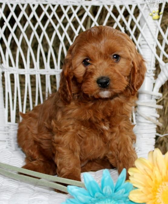 John Cavapoo Puppy For Sale In Atglen Pa Lancaster Puppies