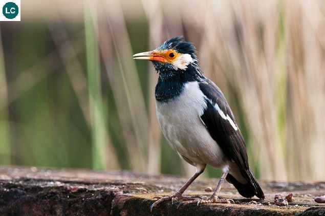 Https Www Facebook Com Wonderbirdspecies Asian Pied Starling Myna Gracupica Contra Indian Subcontinent And Southeast Asia Iucn Red Starling Animals Bird