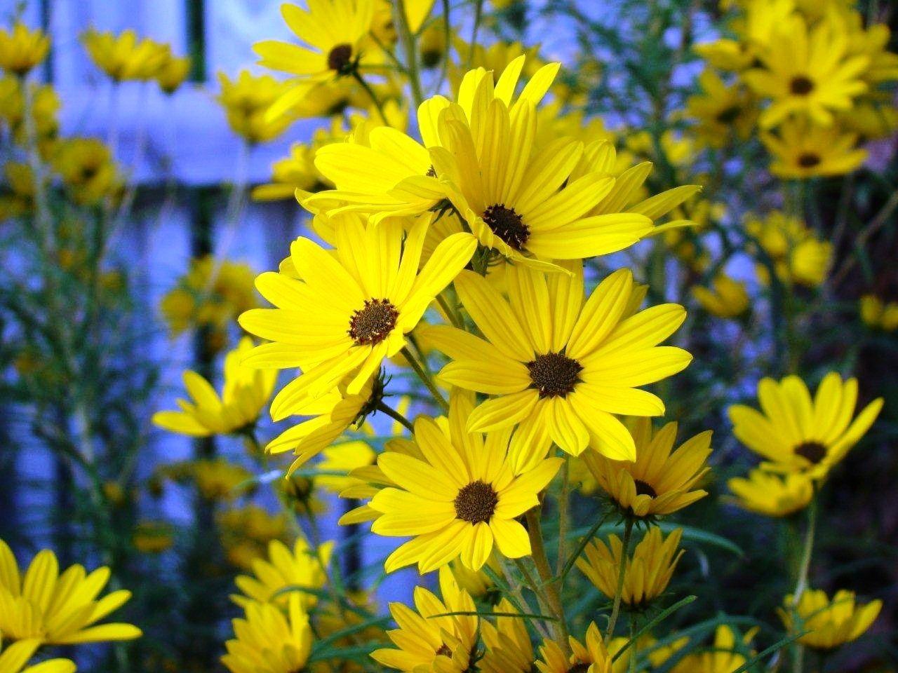 First Light Swamp Sunflower Garden Perennials Pinterest