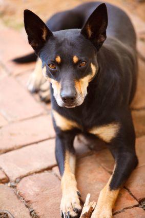Australian Kelpies Australian Kelpie Dog Australian Dog Breeds Dog Breeds