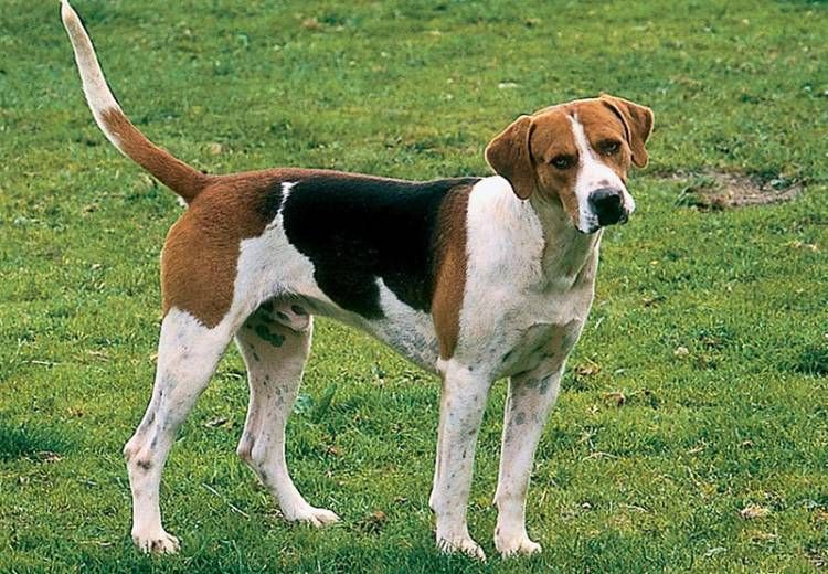 Find English Foxhound Breed Info Search English Foxhound Puppies