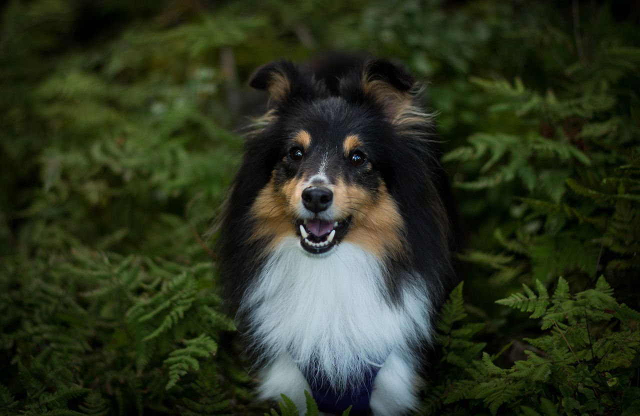 Pin by Toshiyuki Manabe on Sheltie, Sheltie Sheltie