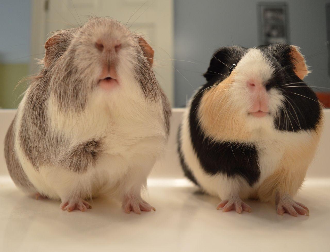 Wir Sind Beste Freunde Meerschweinchen Meerschweinchen Bilder Susse Tiere