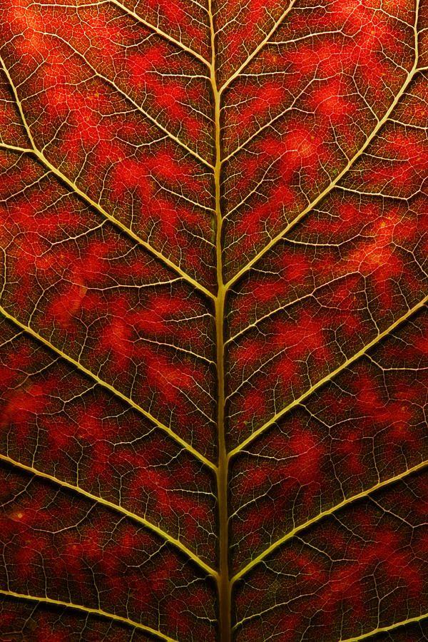 Backlit Close Up Of A Smoke Tree Leaf By Joe Petersburger
