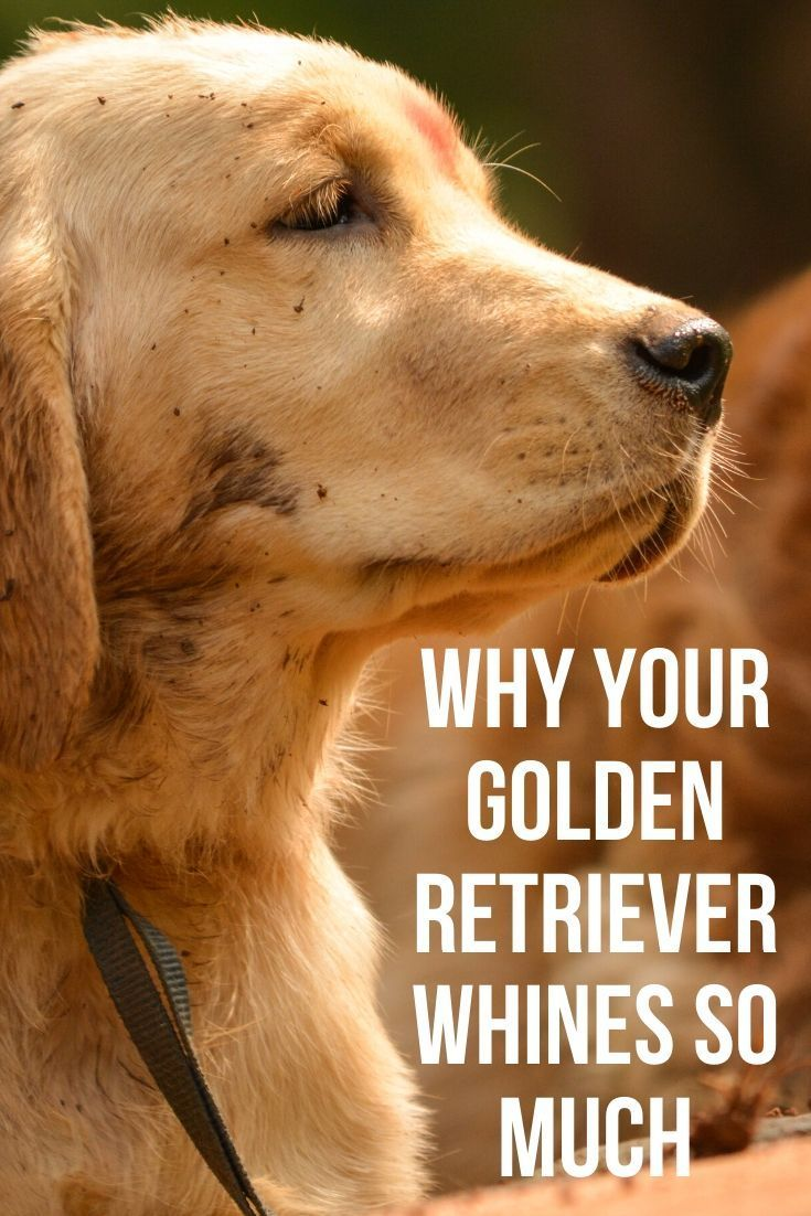 Why Does My Golden Retriever Bark So Much Dogs Golden Retriever