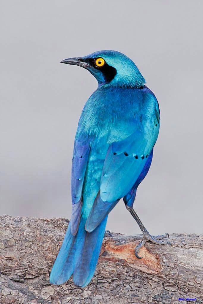 Gran Starling azul de orejas azules. AFRICA