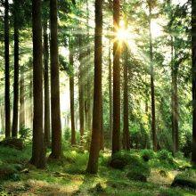 Valokuvatapetti - Sunbeam through Trees