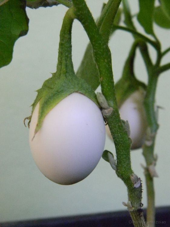 Solanum Ovigerum Cur Name A K Easter White Eggplant Is Related To The But I Am Unsure If It Edible Used As An Ornamental Plant