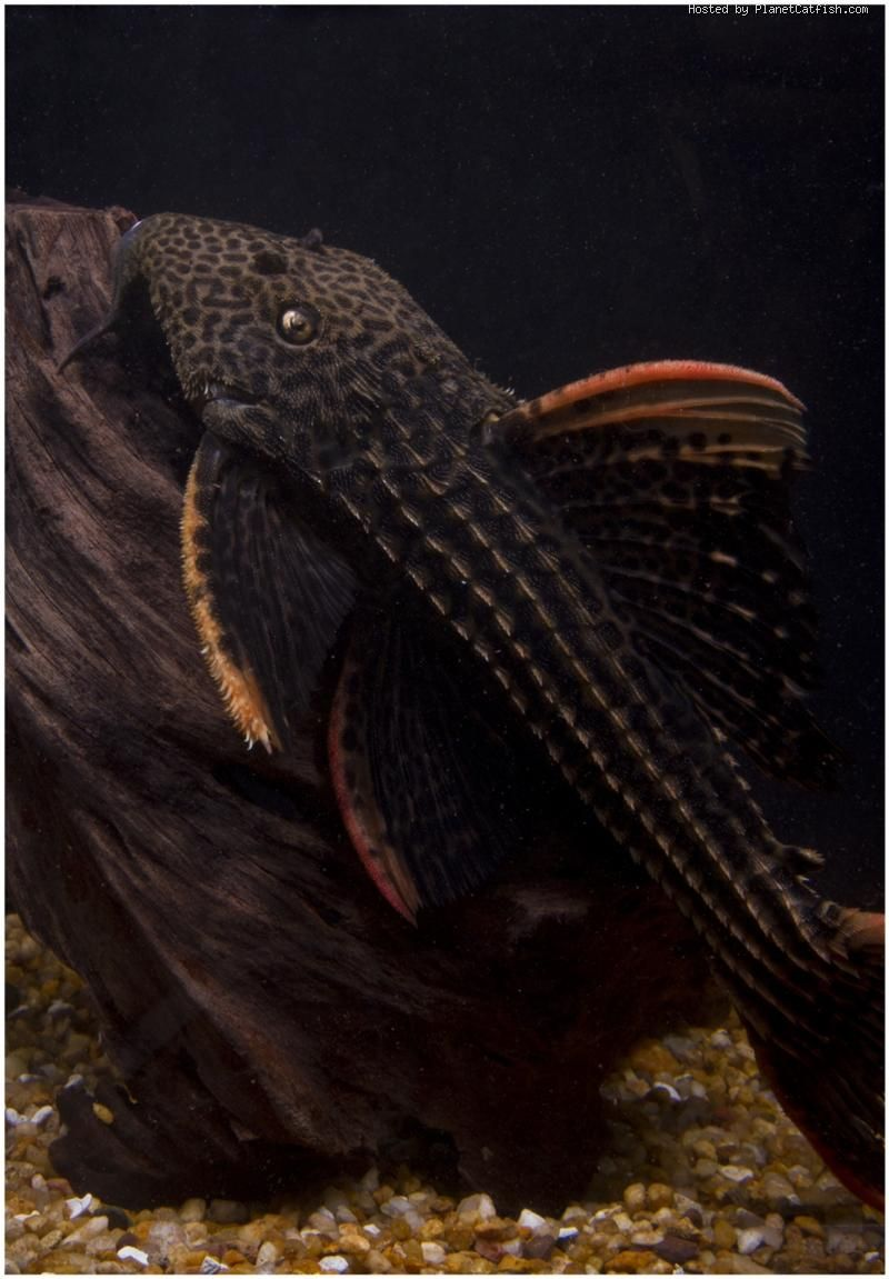 Freshwater aquarium fish gobiidae - Pseudacanthicus Sp L025