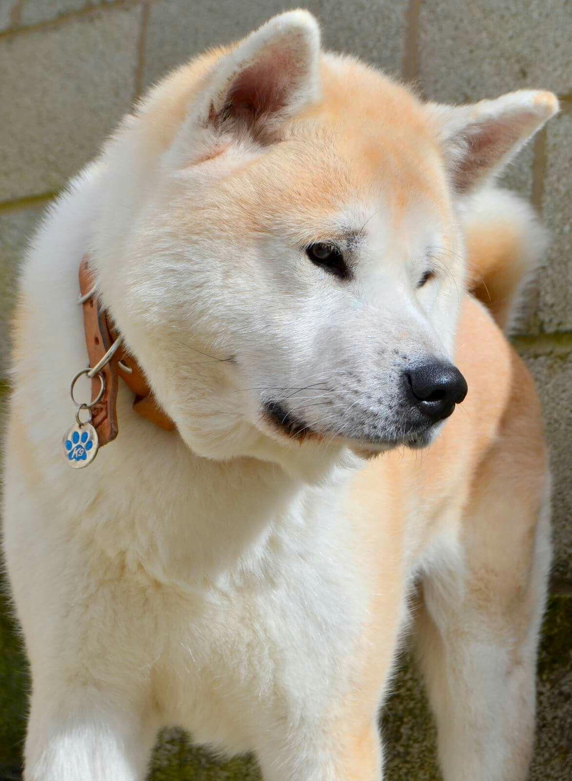 Arrow The Japanese Akita Inu Akita Dog Japanese Akita