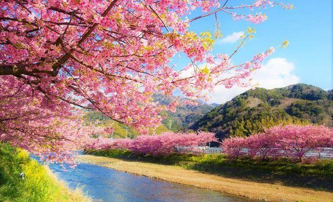 Pemandangan Indah Bunga Sakura Mulai Februari Minggu Ini Kalian Sudah Bisa Melihat Ke Cherry Blossom Japan Cherry Blossom Background Cherry Blossom Festival