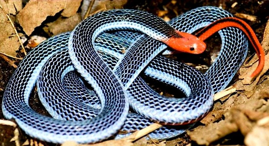 Malayan Snake Also known as the Blue Krait, this snake can ...