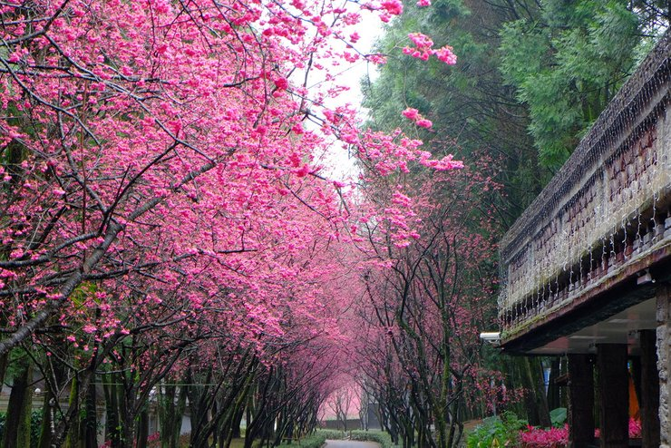 Best Time To See Cherry Blossom In Taiwan 2021 When To See Rove Me Cherry Blossom Blossom Places To See
