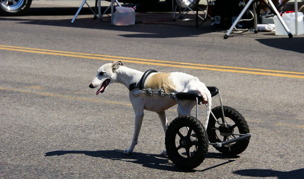 The biggest difference between pets with disabilities and humans with disabilities is that animals don't let their disability effect their disposition. They don't dwell on the negative and let their disability ruin their spirit. Your dog will still have a loving, happy personality and he'll still want to cuddle and play with you. #disableddogs #dogs #dog #dogwheelchair