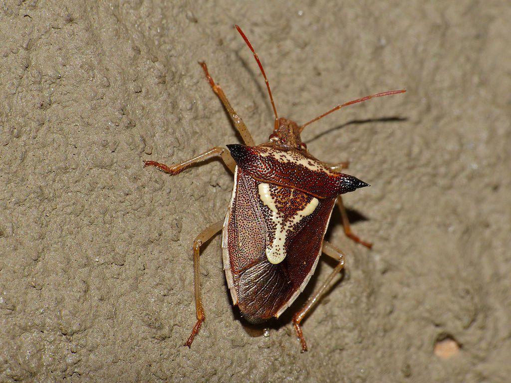 Grass_Stink_Bug_(Veterna_sp.)_(12932307065) Stink bugs