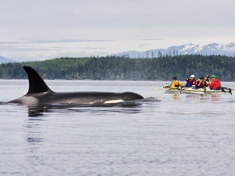 Canada Paddle Close To And Hear Orcas Off Vancouver Island Kayak Adventures Sea Kayaking Kayaking