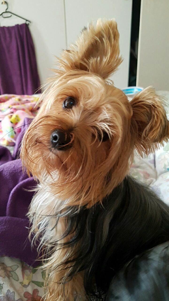 Beautiful And Cute York Terrier Dog: Isn't She Just Beautiful?!?