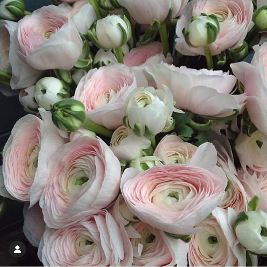Botanicaetcetera On Instagram Art Istic Licence Perfect Pink Ranunculus From Sasha Joubert Sashajoubert In 2020 Beautiful Flowers Amazing Flowers Flower Images