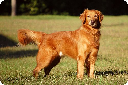 Dogs Golden Retriever