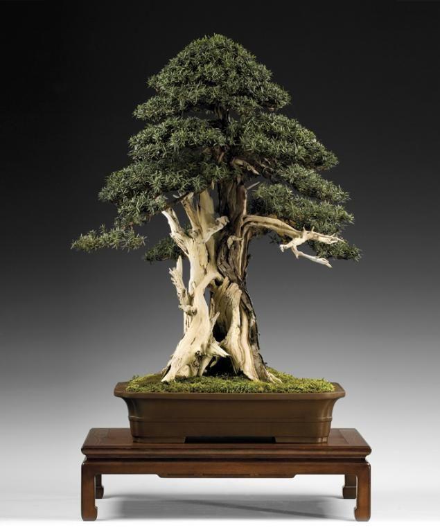 Bonsai Gallery # 2   Bear Tales