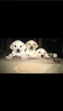 Litter Of 4 Labrador Retriever Puppies For Sale In Cleveland Ga